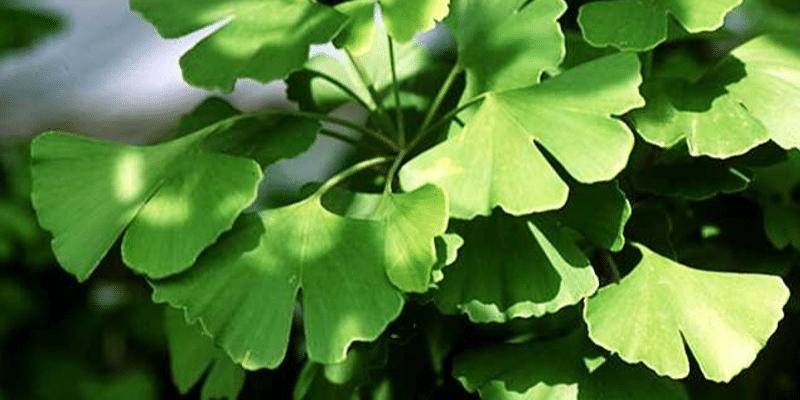 Ginkgo Biloba: proprietà, controindicazioni e utilizzi della pianta