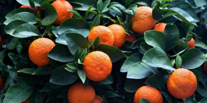 Estratto di arancia amara_ proprietà, benefici, usi e controindicazioni