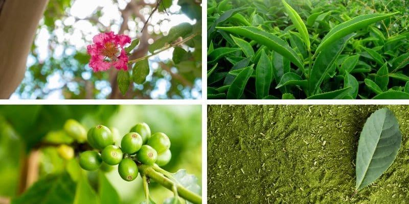 banaba, tè verde, caffè verde e mate