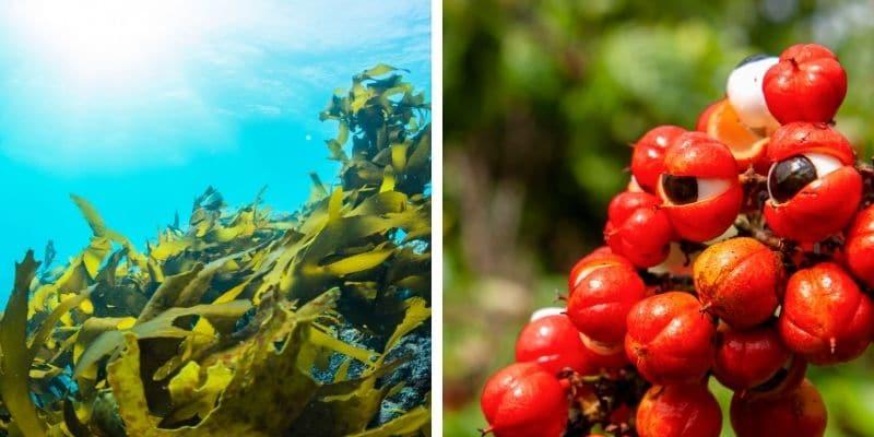 alghe marine e guaranà