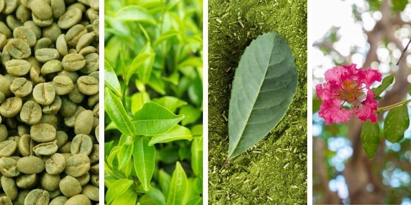 caffè verde, tè verde, mate e banaba