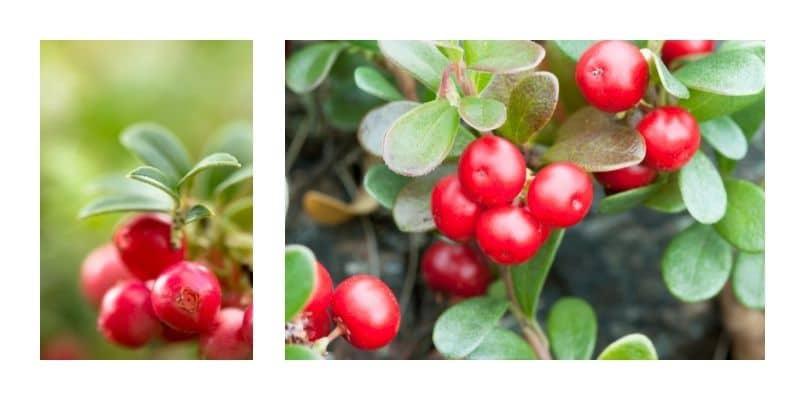 mirtillo rosso e uva ursina